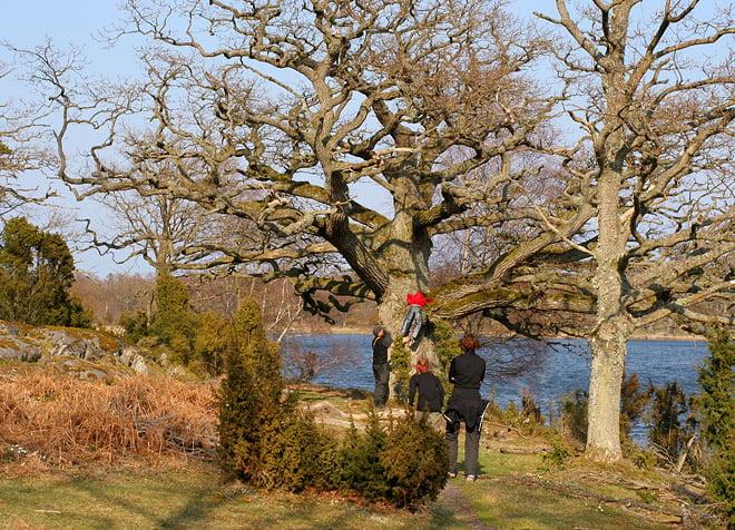Stora träd på Slädö