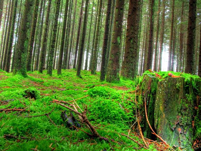 Grön mossa i skogen